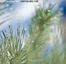 Uros Pinus kuvia
