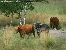 highland-cattle-6