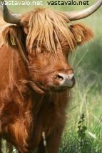 highland-cattle-3
