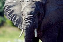 loxodonta-africana-selous-game-reserve