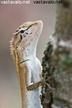 forest-crested-lizard-6