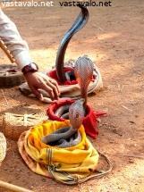 Kuva: Kuningaskobra 1 - kuningaskobra ophiophagus hannah kobra cobra maailman suurin ...