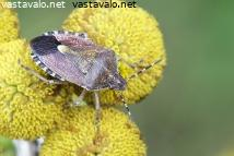 marjalude-dolycoris-baccarum